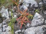 Aloe Vera and lichen on rocks near Griffin Falls