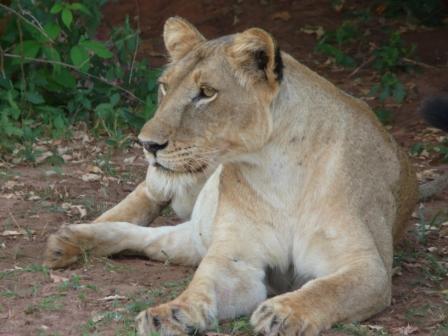 Alert Lioness