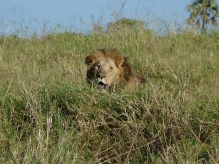 Kidepo Lion