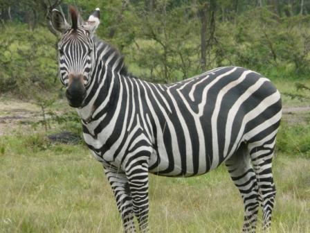 Zebra, LMNP