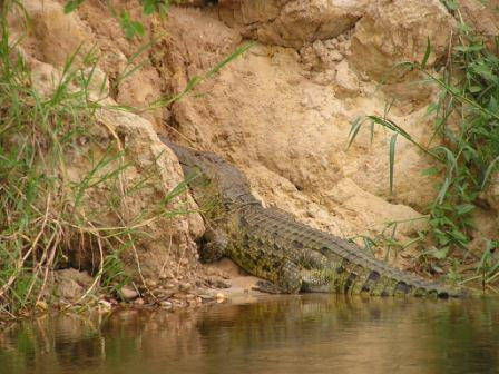 Crocodile at Nyamsika Cliffs